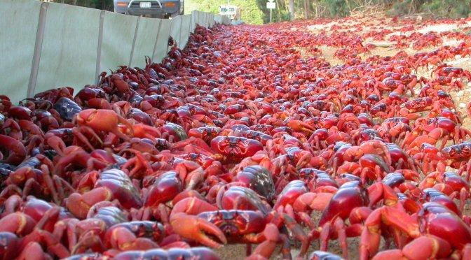 L'incroyable migration des crabes rouges de l'Île Christmas [Vidéo]