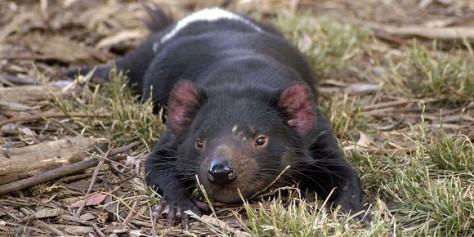 Diable de Tasmanie