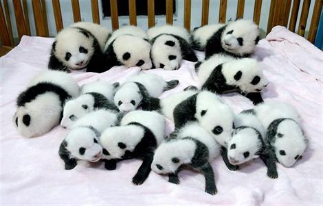 bébés panda
